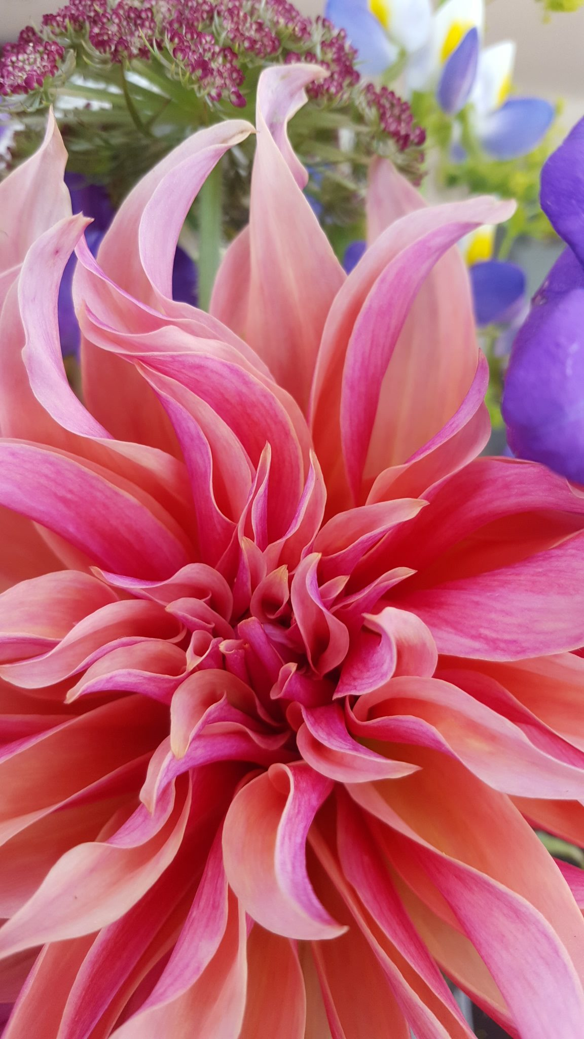 Dahlia Labyrinth - up close